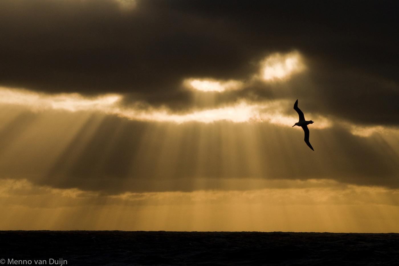 Wandering Albatross - Reuzenalbatros
