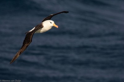 Black-browed Albatross - Wenkbrauwalbatros