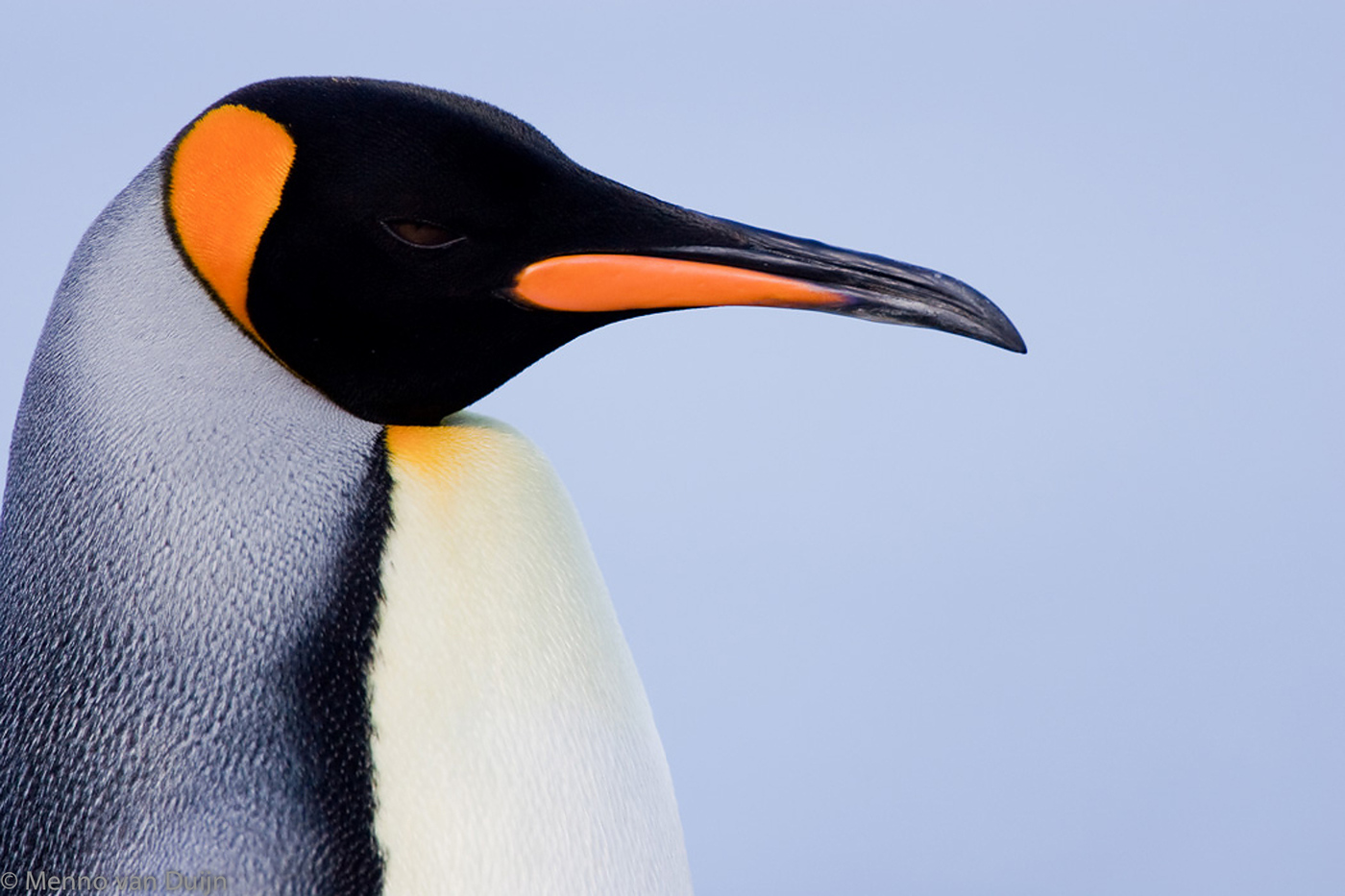 King Penguin - Koningspinguin