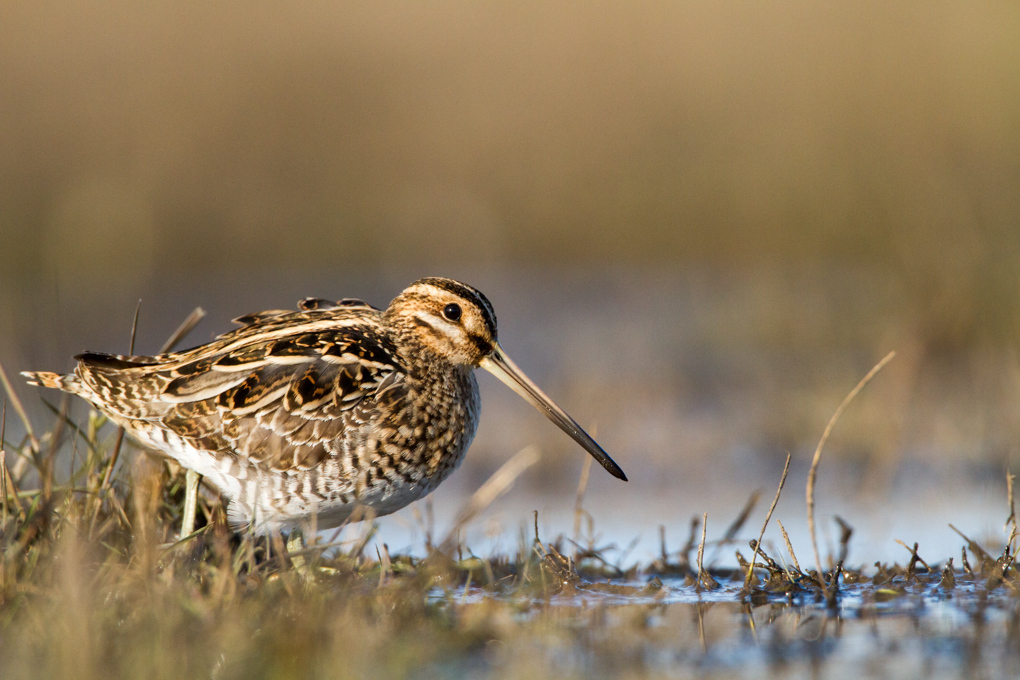 Snipe - Watersnip