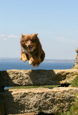 Collie in Cornwall