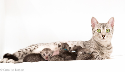 Egyptian Mau female with kittens