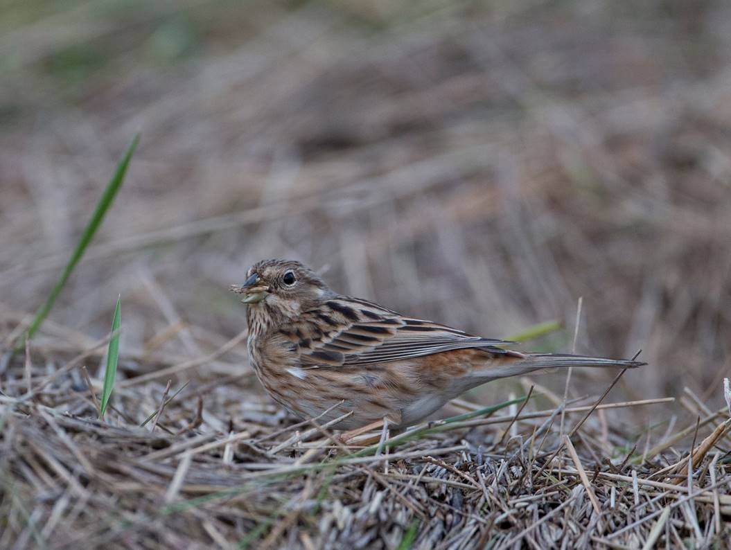 The P(a)ine Bunting (Emberiza leucocephalos) issue