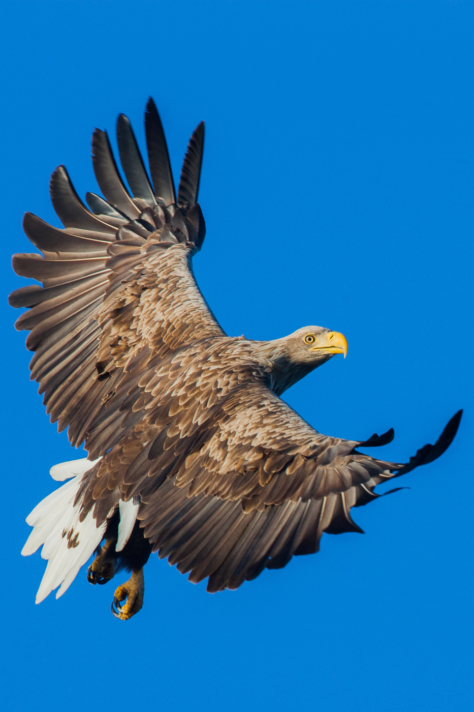 White-tailed Eagle - Birding Netherlands