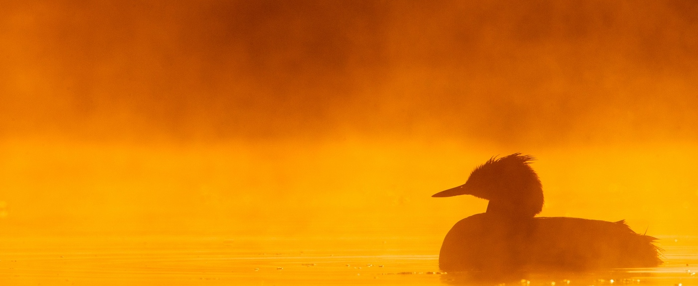 Great Crested Grebe in the Netherlands