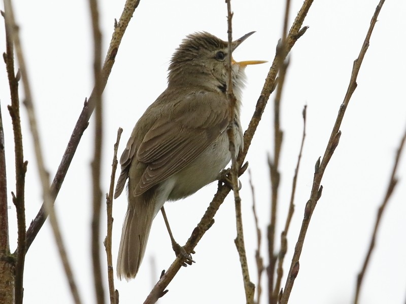 Marsh versus Blyth's Reed Warbler's song
