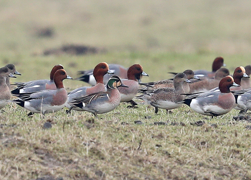 13th Baikal Teal for the Netherlands