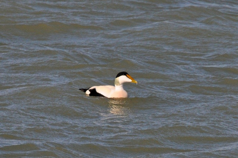 Eider subspecies overview