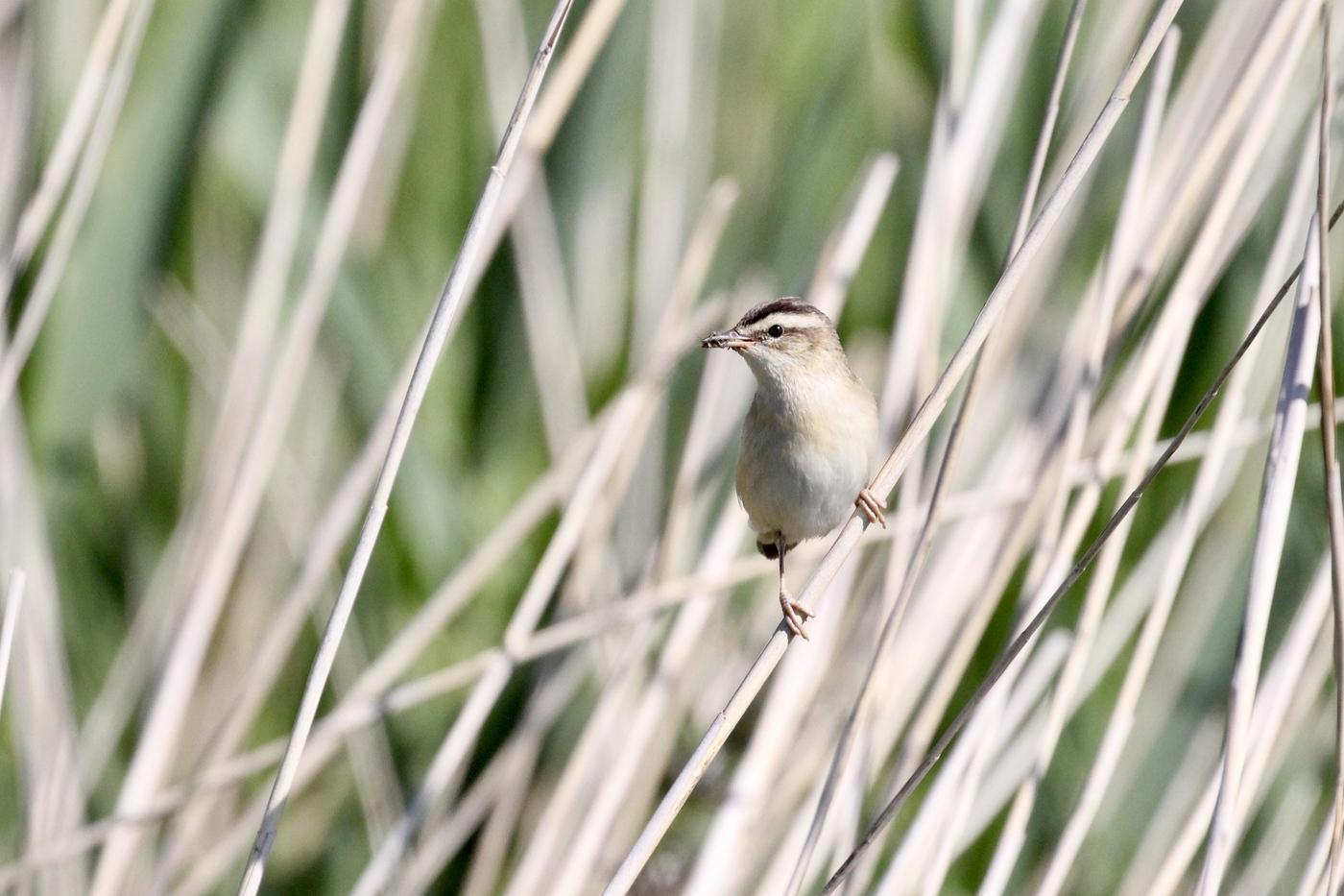 20190529 Birding Nieuwkoopse Plassen