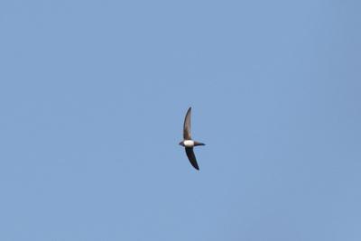 Alpengierzwaluw 6/4 (Ed Schouten)